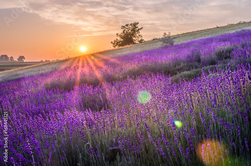 Poster Aubergine Blooming lavender fields in Poland, beautfiul sunrise