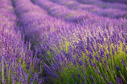 Papiers peints Lavande Blooming lavender fields in Little Poland