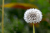 seeds of a dandelion on a green background