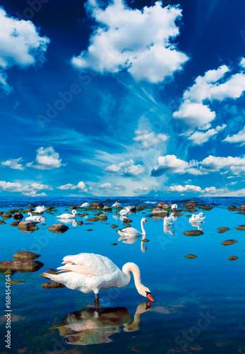 Fotobehang Zwaan Swans in the sea landscape with beautiful sky above