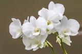 White orchid, Dendrobium.