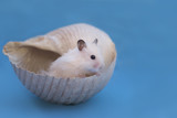 .Hamster in a sea shell on a blue background - 168469750