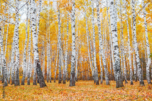 autumn birch forest © Alx_Yago