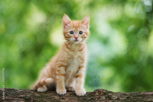 adorable red kitten sitting outdoors in summer