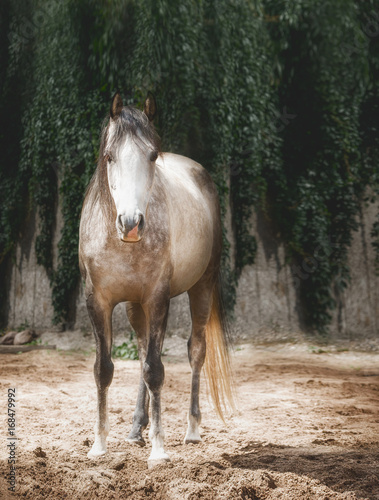 Beautiful gray horse in sand paddock Poster