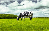 Schwarz/Weiße Kuh auf der Weide - 168495918