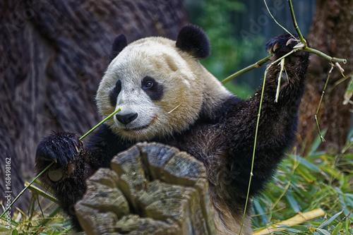 Fotobehang Panda Panda eating