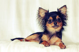 Portrait of cheerful chihuahua puppy lying on bed