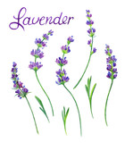 Sprigs of lavender with leaves on a white background. Flower watercolor drawing. Isolated on white background with clipping path. - 168519782