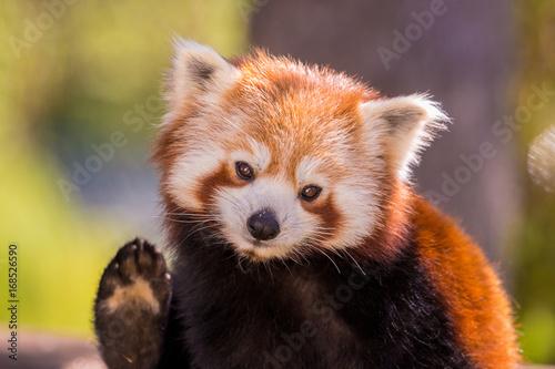 Plexiglas Panda Panda roux