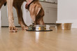Weimaraner dog eating food