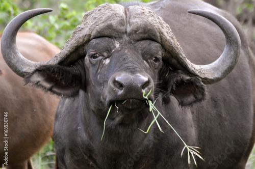 Foto op Canvas Aap buffalo