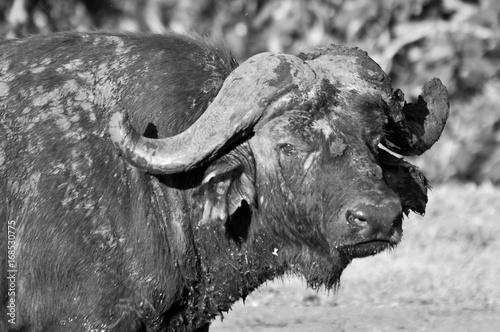 Fotobehang Bison buffalo