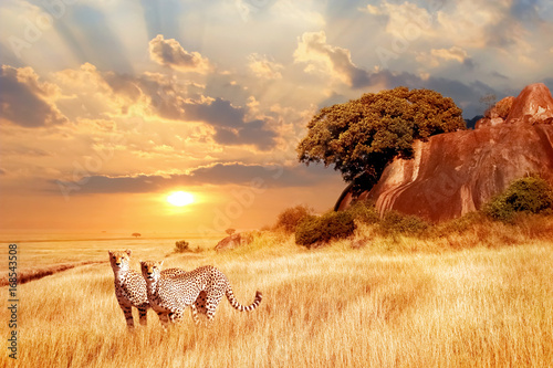Naklejka Cheetahs in the African savanna against the backdrop of beautiful sunset. Serengeti National Park. Tanzania. Africa.