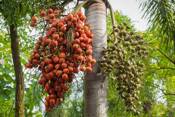 Ripe of palm fruits hanging on tree