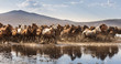Wild horses of Cappadocia at sunset with beautiful sands, running and guided by a cawboy