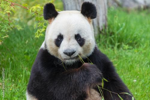 Fotobehang Bamboe Giant panda, bear panda sitting on the grass eating bamboo