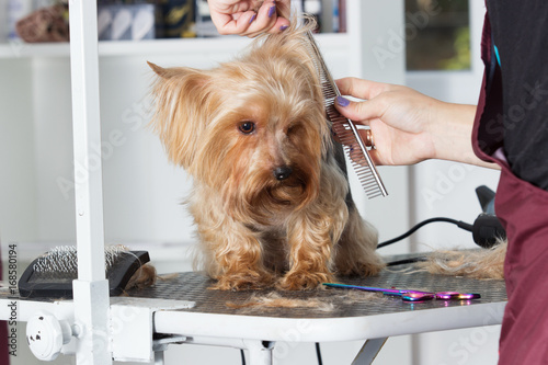 Fotobehang Kapsalon Yorkshire terrier dog on a hairstyle in a grooming salon