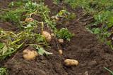Pommes de terre - 168593577