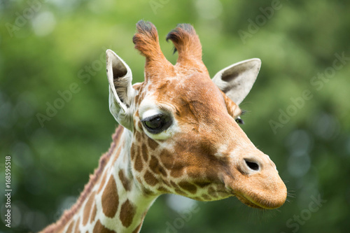 Portrait of a giraffe Poster