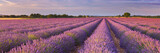 Sunrise over fields of lavender in the Provence, France - 168600739