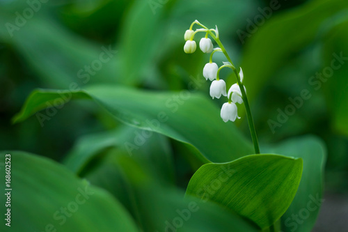 Fotobehang Lelietjes van dalen Lily of the valley flower in spring garden