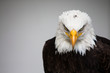 Bald American eagle isolated