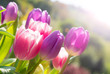 Pink and violet tulips growing outdoors - 168603756