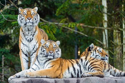 Fotobehang Tijger bengal tiger