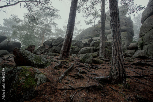Fotobehang Betoverde Bos Tree with big twisted roots in dark forest with fog