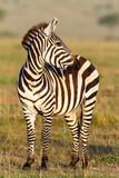 Zebra on the savannah looking sideways