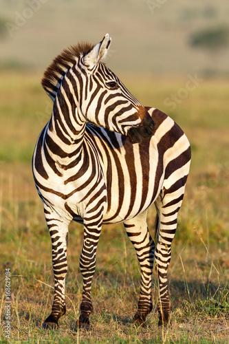 Fototapeta Zebra on the savannah looking sideways