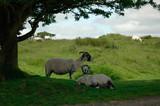 Sheep Shade - 168648360