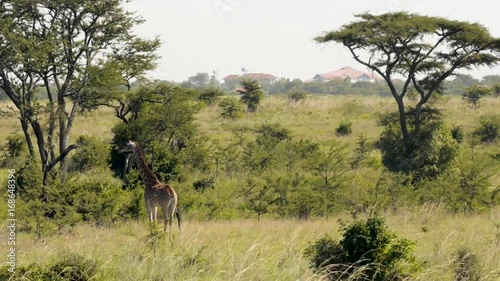 Poster Masai Giraffe in Nairobi National Park