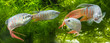 Macropodus opercularis - Paradise fish, Forktail fightingfish - aquarium fish