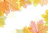 Autumn background and leaves of a maple - 168658521