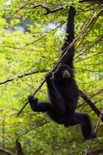 Old Siamang in action