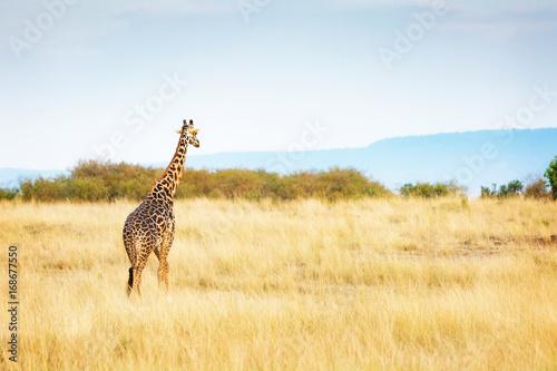 Masai Giraffe Walking in Kenya Africa Poster