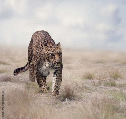 Leopard walking in the grass - 168679598