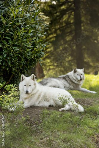 Aluminium Wolf White wolf
