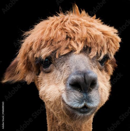 Fotobehang Kameel Alpaca