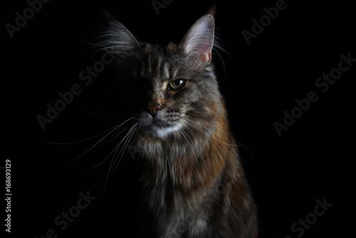 Zakończenie odosobniony srebny tabby Maine coon kot na czarnym tle
