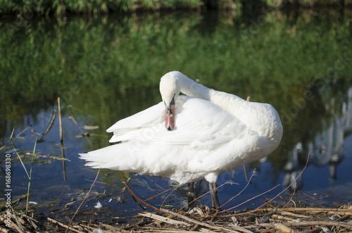 Fotobehang White big swan bird on the riverside on bulrush green background.