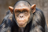Portrait eines Schimpansen