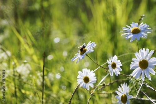 Keuken foto achterwand Vlinders in Grunge solar Daisy flower in green grass