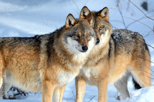 le-loup-canis-lupus