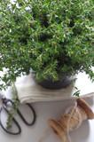 Thymianpflanze - 168734360