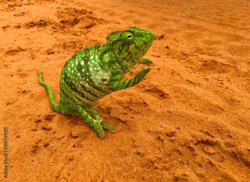 Fotobehang Kameleon Little Chameleon