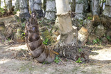 Bamboo shoots growing from the ground in bamboo forest in Thailand
