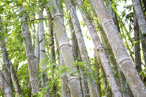 Aluminium Bamboe Bamboo tree in the bamboo forest from Thailand